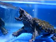 鱷龜飼養的水質環境
