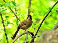 画眉鸟喂养不可缺少的三种食物