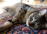 文质彬彬的英国人也爱养猫?