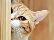 猫咪耳朵大面积掉毛怎么办?