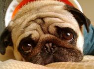 必威官网下载使者——八哥犬的起源你知道吗?