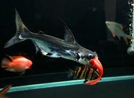 成吉思汗鱼的养护知识