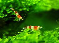 水晶虾饲养的几个小技巧