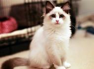 布偶猫为什么那么贵?