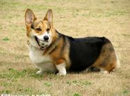如何判断狗狗肥胖