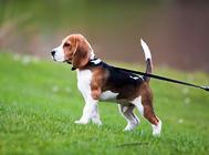 狗狗不肯用牵引绳怎么办?