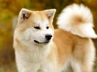 秋田犬选购要注意什么?