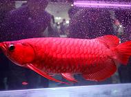 红龙鱼为什么这么名贵
