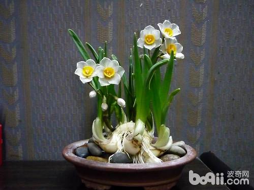 水仙花第二年还能开花吗