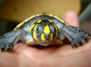 黄头侧颈龟的饲养要点
