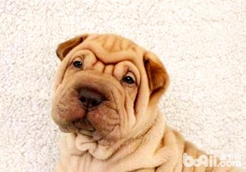 沙皮狗吃什么狗粮好?