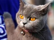 英国短毛猫的性格特征