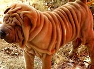 沙皮狗身上的皱纹为什么那么多?