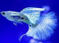 孔雀鱼繁殖的注意事项