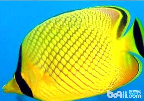 蝶魚的品種介紹