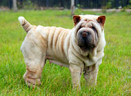 中国第一斗狗——沙皮犬