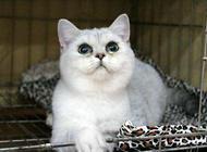 挑选银色渐层英国短毛猫的几个注意点