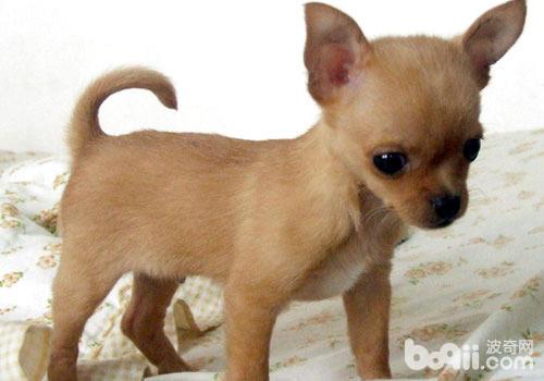 世界上最小的狗是哪一种?-轻博客
