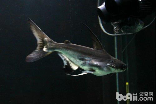 成吉思汗鱼
