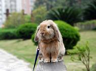 荷兰垂耳兔如何饲养