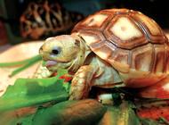 苏卡达陆龟饲养的方法