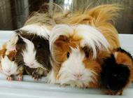 荷兰猪公母分辨图及最佳怀孕期