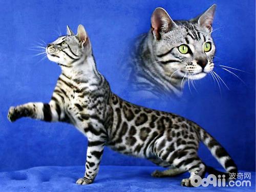 孟加拉豹貓如何飼養
