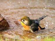 给宠物鸟洗澡几种的方法