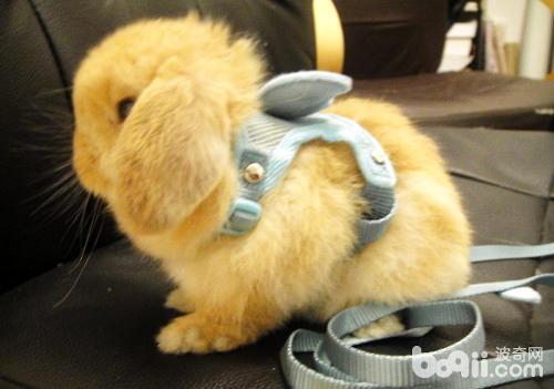 迷你垂耳兔好养么?