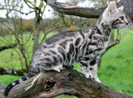 孟加拉豹猫如何饲养