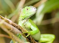 绿鬣蜥好养么?