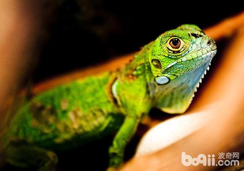 綠鬣蜥好養么?