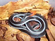 十分神秘炫酷的蛇——蓝长腺珊瑚蛇