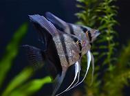 神仙鱼常见的寄生虫病
