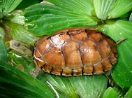 黄喉拟水龟如何区分南种和北种