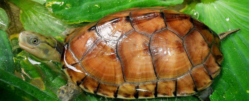 黄喉拟水龟苗的饲养_黄喉拟水龟如何区分南种和北种|爬虫品种-波奇网百科大全