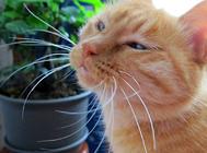 貓咪的胡須有什么作用?