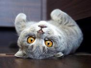 苏格兰折耳猫的性格好么?