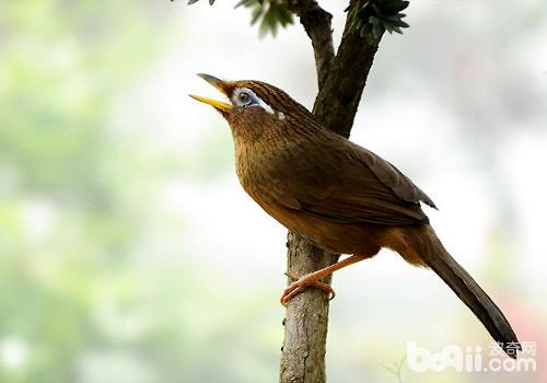 画眉鸟鸣声嘶哑怎么办?
