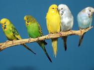 虎皮鸚鵡繁殖期間需要注意什么?