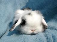 影响垂耳兔寿命的因素有哪些?