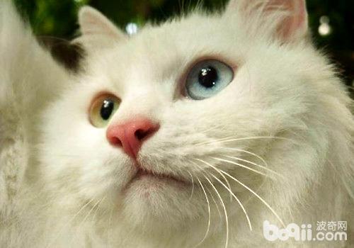 猫咪的胡须有什么作用?