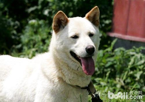 物,世界名犬 珍岛犬
