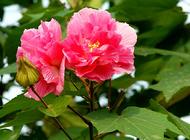 盆栽木芙蓉的养殖方法
