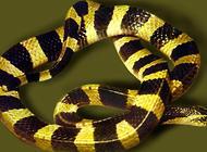 最最致命的毒蛇——金环蛇