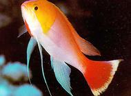 花鮨鱼如何饲养?