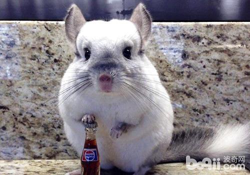 高清动物图片 龙猫
