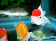 观赏鱼生病的外界因素