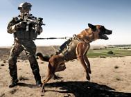 欧洲运用最广泛的警犬——比利时马犬