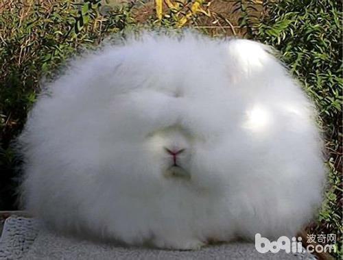 巨型安哥拉兔竟被纳粹重视